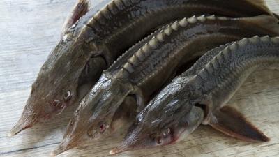 Правительство вновь простимулировало экспорт рыбы за рубеж