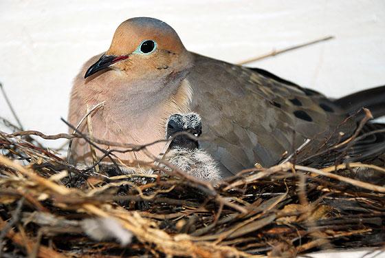 Почему никогда не видно птенцов голубей?