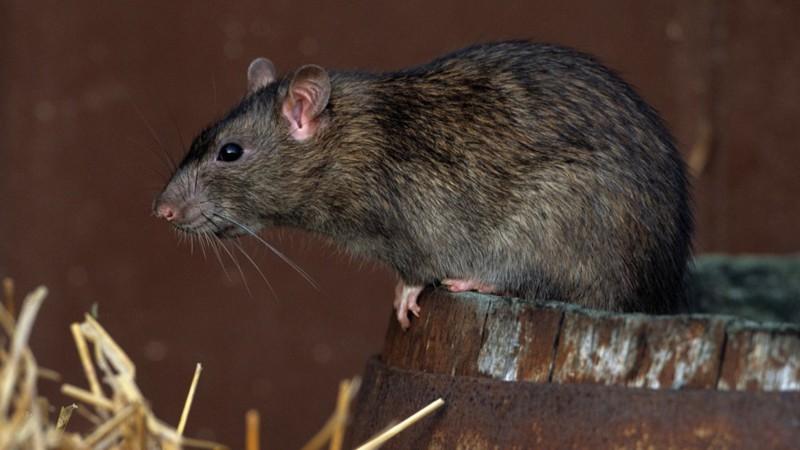 9. Крыса. животные, опасные животные