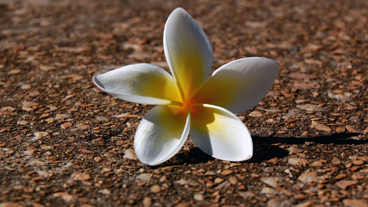 Сорванный цветок обои, фото, картинки