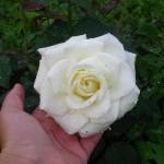 Цветут в саду цветочки