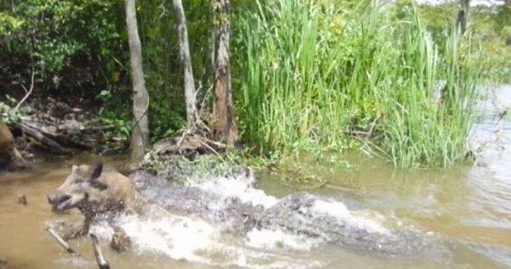 Туристы заманивают свинью остатками пищи в реку с аллигаторами, чтобы понаблюдать за тем, как животное будет съедено заживо