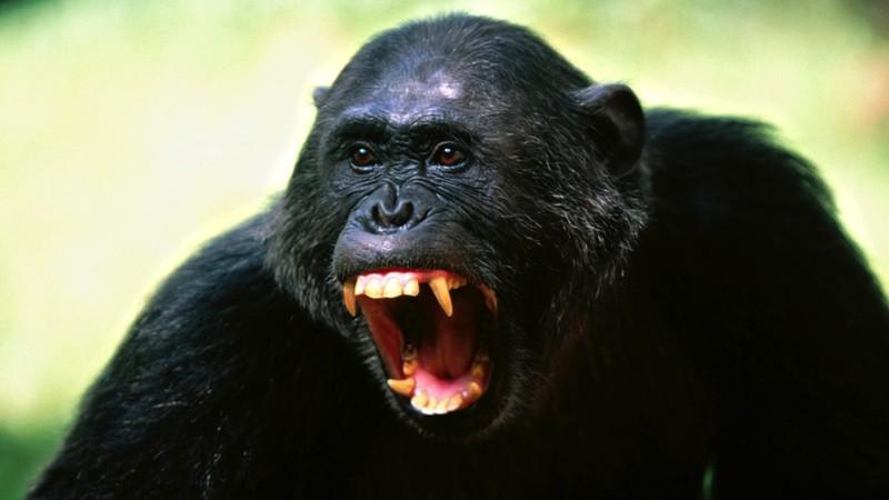 4. Шимпанзе. животные, опасные животные
