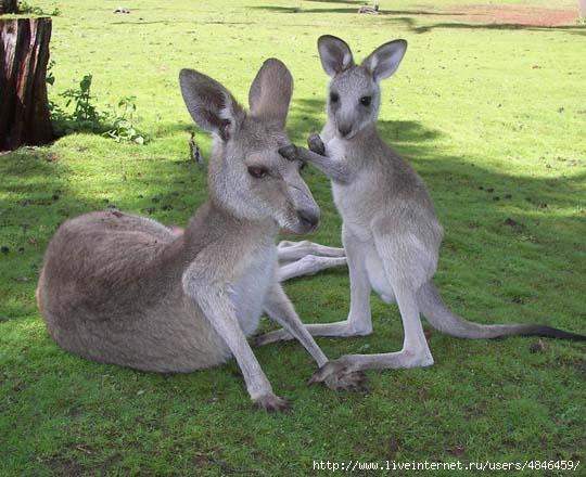 givotnye_avstralii_kenguru_foto_15 (540x440, 155Kb)