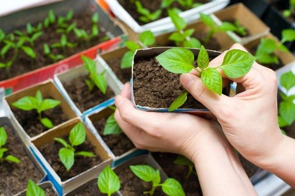 Зимние посевы: как вырастить коренастую рассаду в коробке из-под соков