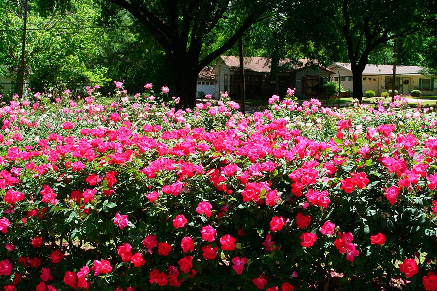 Сад Сад Tyler Rose Garden, США - фотопутешествие