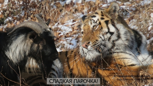 Тигр Амур и козел Тимур - гомосексуалисты