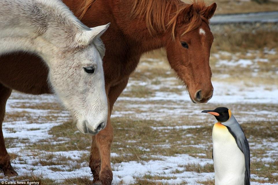 Лошади на морозном  мысе  заповедника Пембрукшира  подружились с одиноким и потерянным пингвином