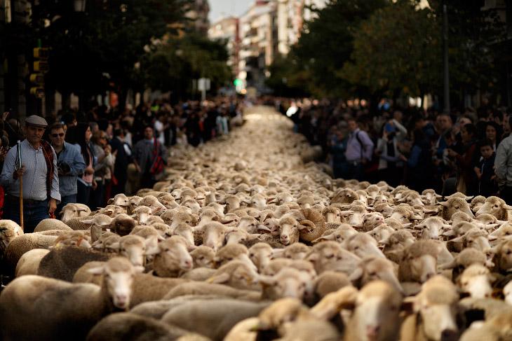 Овечий парад по улицам Мадрида