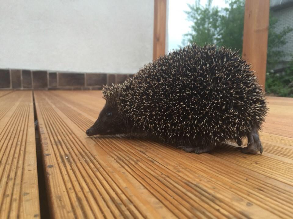 Вот такие гости иногда заходят на огонек дикие животные, ежик, животные, неожиданные гости, фото