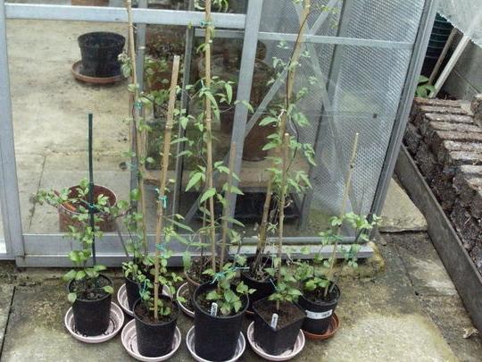 Выращивание черенками клематис 89