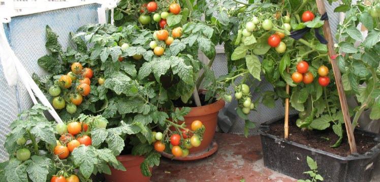 уход за балконными помидорами