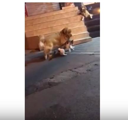 Пес-миротворец предотвратил …