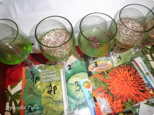 Мелкие семена трудно посадить ровненько. Вот я с вечера залила семена водой для набухания.. Фото 1