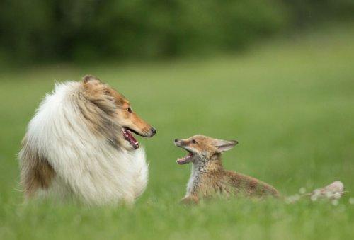 Собака усыновила лисёнка, потерявшего мать (13 фото)