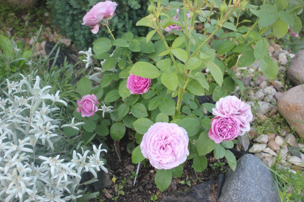 С какими растениями сажают розы 81