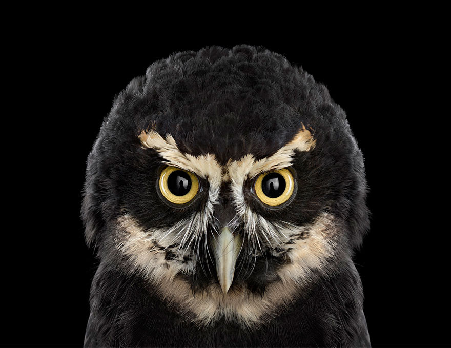 Очковая сова портрет, сова