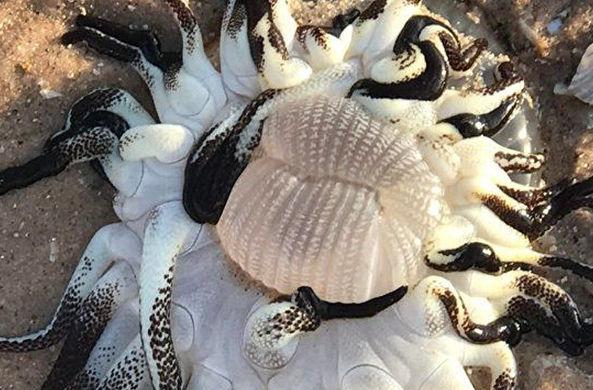 В Австралии мужчина нашел странное морское существо с кучей щупалец