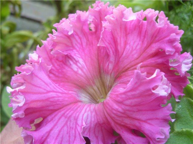 Сорта петунии. Высказываем мнение. :: Форум - Комнатные растения и цветы на forum.bestflowers.ru. Вот Фриллитуния Бабочка от Аэл