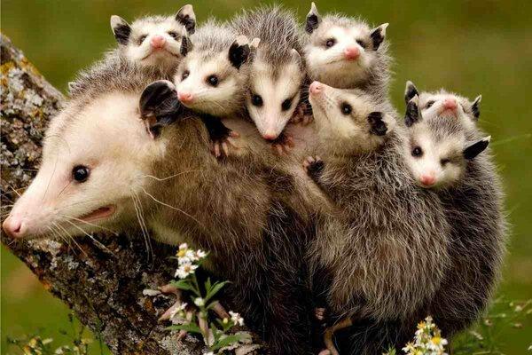 На фото опоссум (многодетные мамы поймут). Фото из свободного доступа