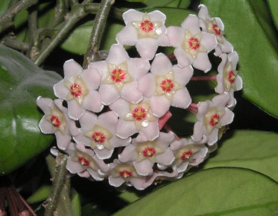 Цветы плющ фото и названия
