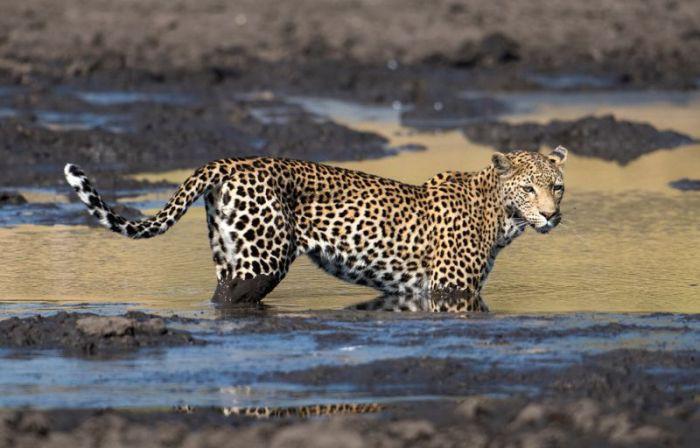 Леопард «порыбачил» в грязи животные, леопард
