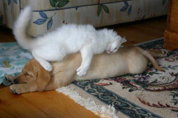 Кошки, которые настолько обнаглели, что используют собак вместо подушек