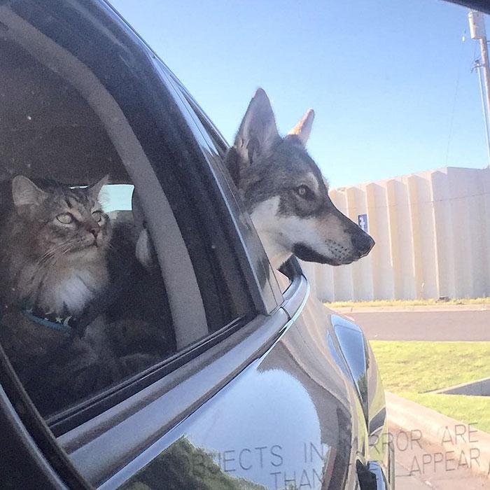 Этот хаски выбрал своего собственного котенка, чтобы забрать его из приюта