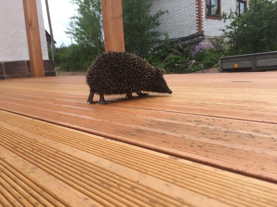 лапки- топотушки дикие животные, ежик, животные, неожиданные гости, фото