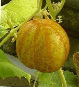 Цитрон огурец выращивание 30
