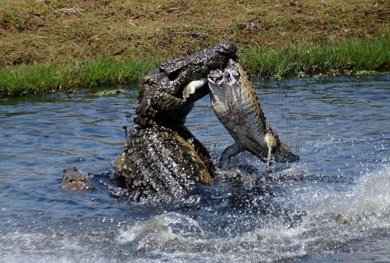 Голодный крокодил не против перекусить слабым сородичем