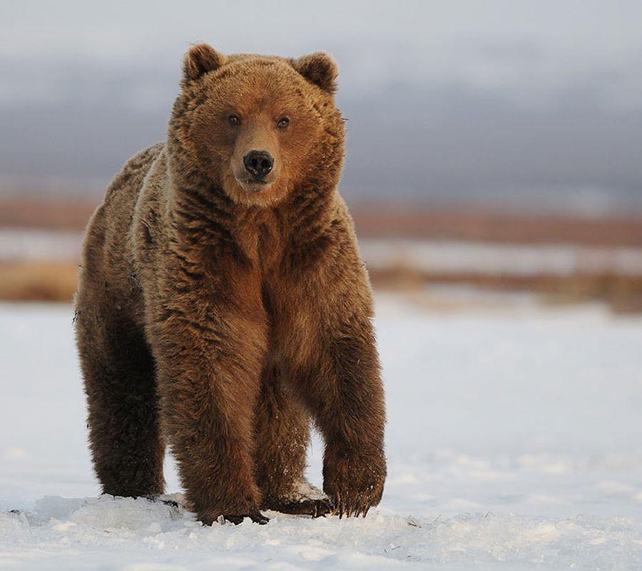 Камчатские медведи. Пробуждение.