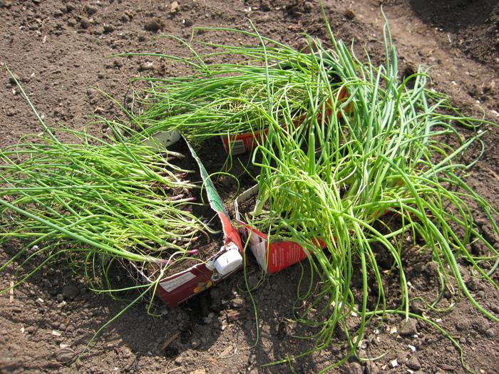 Репчатый лук из семян за один сезон на Северо-Западе России
