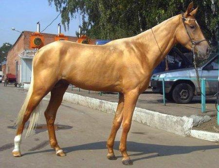 Фото лошади золотой масти
