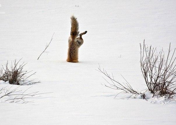 Как лисы ловят мышей в снегу...