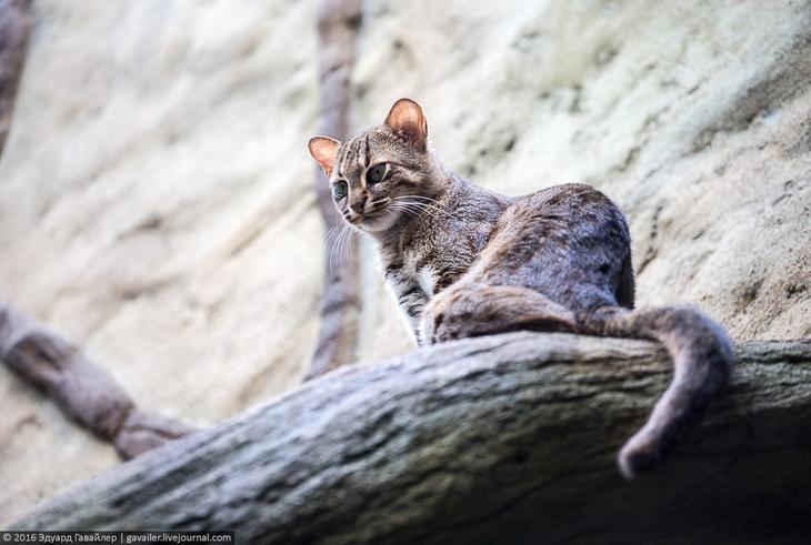 Ржавая кошка, или пятнисто-рыжая кошка. Обитает на Шри-Ланке и в Индии.