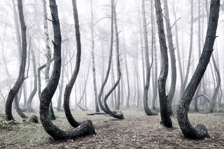 Кривой лес в польше, лес из изогнутых деревьев