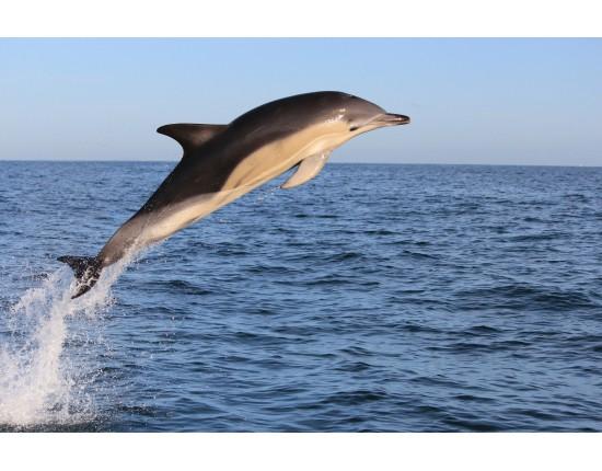 Белобочка дельфины, животные