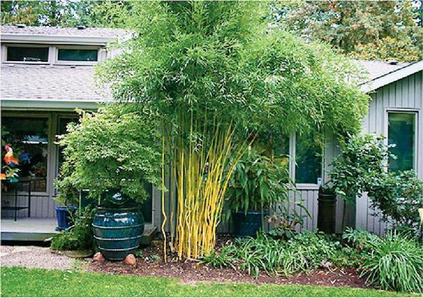Хотите экзотики в саду? Посадите бамбук!