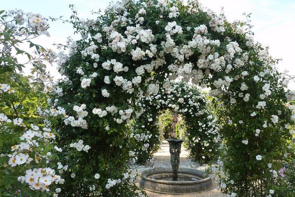 Цветение плетистых роз на садовых арках