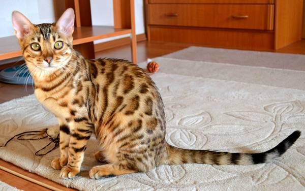 Бенгальская кошка, фото породы кошек фотография