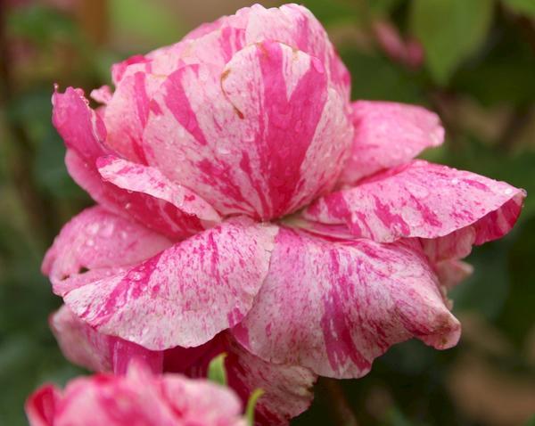 Роза миниатюрная сорт Colibri, фото сайта www.pflanzmich.de