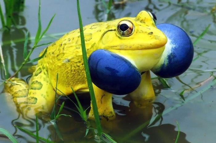 20 самых крутых лягушек и жаб