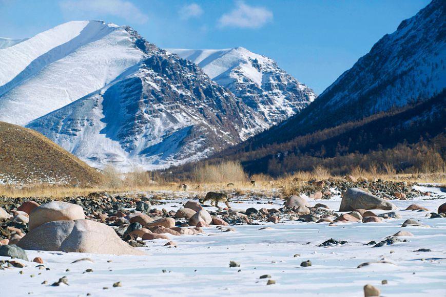Снежный барс - легенда гор