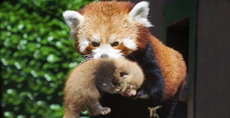 Два детеныша красной панды родились в британском зоопарке
