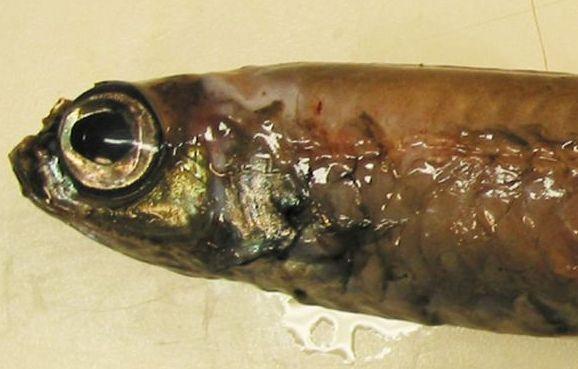 В Гренландии поймали неизвестную рыбу с гигантскими глазами