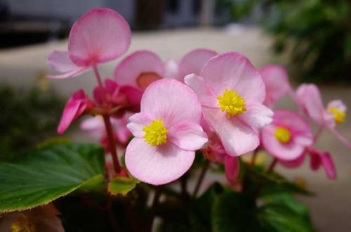 Украшаем сад и цветник бегонией вечноцветущей