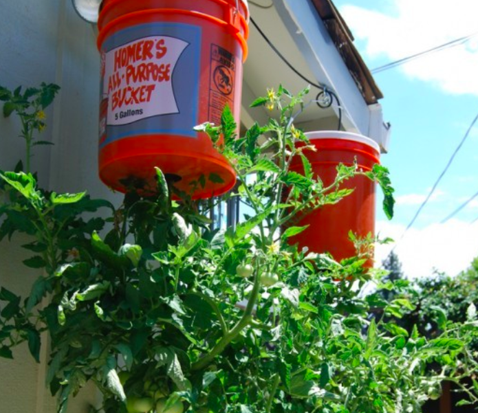 Дачникам на заметку — просто шедевральный способ выращивать помидоры на балконе