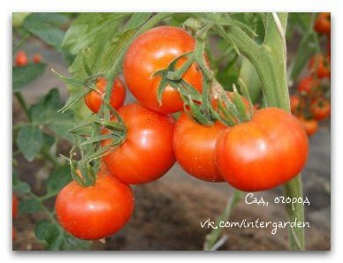 Ошибки, снижающие урожай томатов