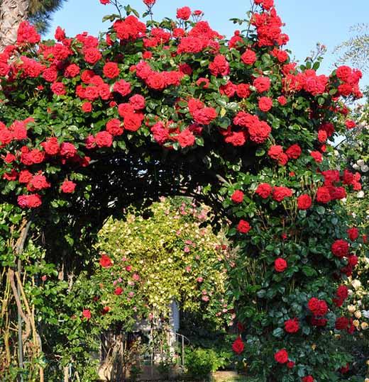 красивые плетистые розы выращиваем своими руками